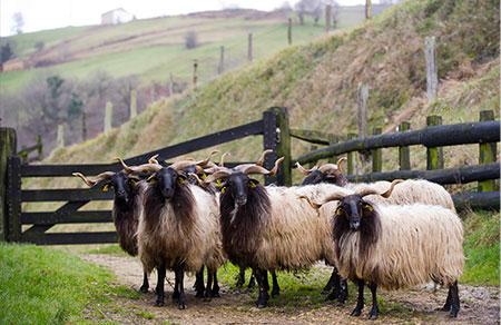pays basque mouton