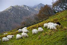 moutons broute dans prairie - Pays Basque - Montagne Basque