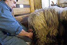 traite de brebis - Pays basque