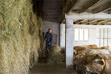 éleveur nourrit vache à lait - étable - pays basque
