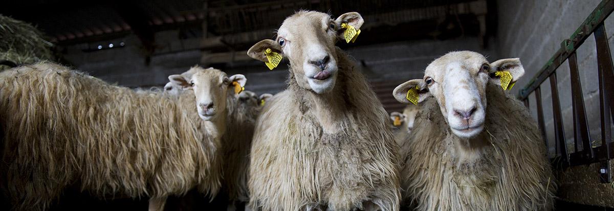 trois brebis rigolo fromage onetik