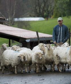 Producteur de lait de brebis - Producteur de lait basque - Troupeau de brebis basque - Onetik