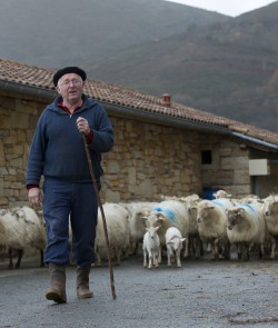 Producteur de lait de brebis - Producteur de lait basque - Troupeau de brebis basque